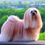 Lhasa Apso Dog Breed Info And Characteristics