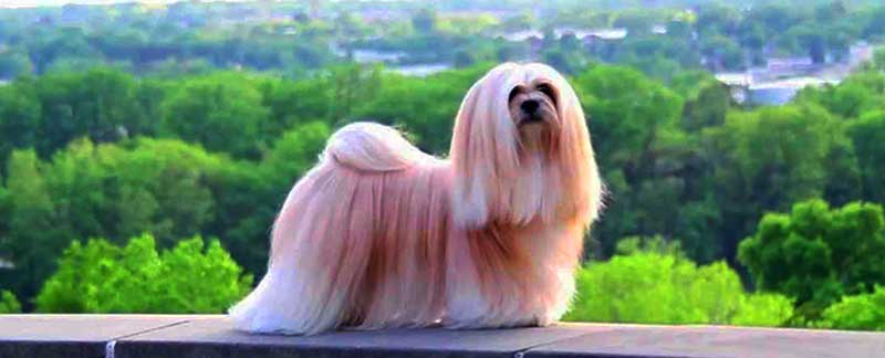 Lhasa Apso featured image