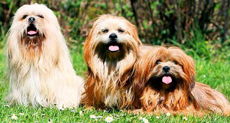 Long-Haired Lhasa Dogs require a lot of grooming, including the regular daily brushing and weekly bathing.