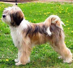 The Lhasa Terriers are excellent competitors in various dog sports.
