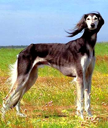 The Arabian Hound is the embodiment of speed, agility, symmetry, and elegance.
