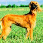 Saluki Dog Breed Info And Characteristics