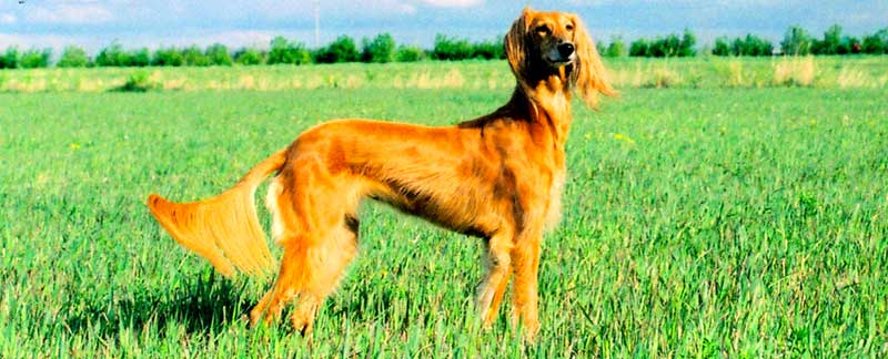 Saluki featured image