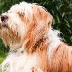 Tibetan Terrier Dog Breed Info And Characteristics