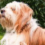 Tibetan Terrier Dog Breed Info And Characteristics
