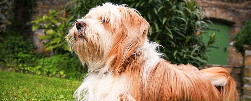 Tibetan Terrier featured image