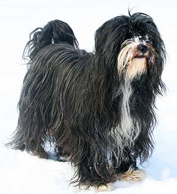The Tibetan Terrier is well protected from the elements and can adapt nicely to every climate, but is more suited to colder climates.