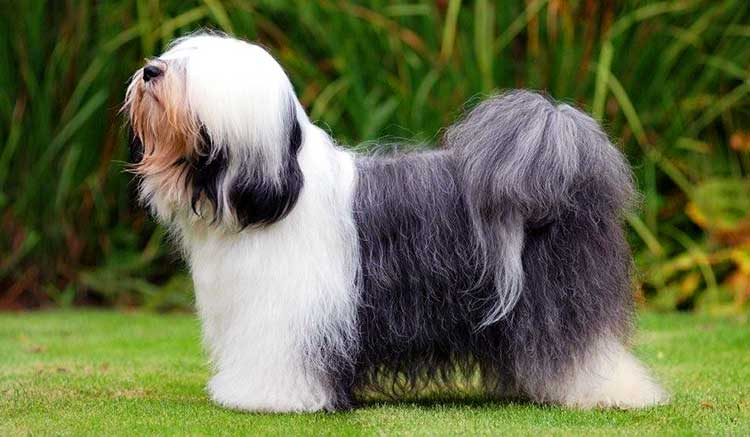 The Tsang Apso is a smaller medium-sized dog of square shape.