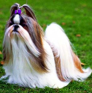 "This ""chrysanthemum-like face"" is the main reason the breed is often called the Chrysanthemum Dog in China."