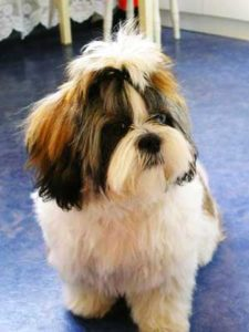 The main qualities that truly define the Shih Tzu are calmness, fondness, liveliness, kindness, tenderness, happiness, and cuteness.