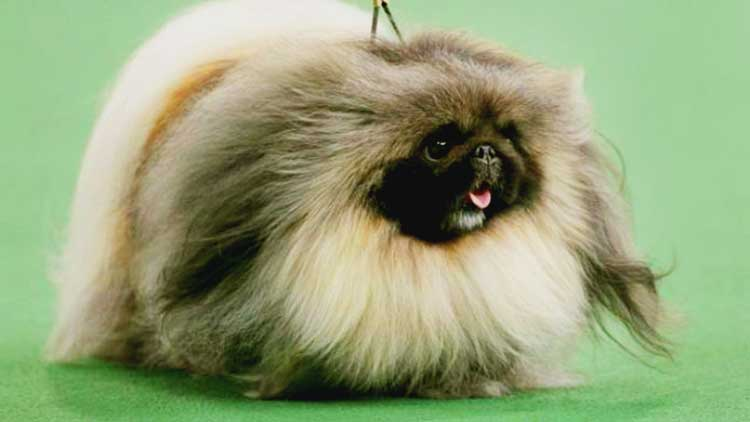 The Peking Lion Dog is unique, distinctive looking, cute, fancy, hilarious, and truly special - an exceptional companion and a cute lap dog