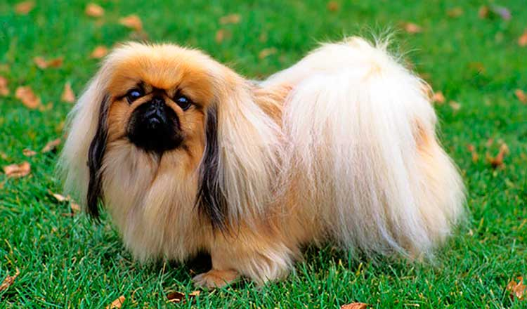 The Peke can be a wonderful family companion, but only if treated properly - like a true king with the highest respect.