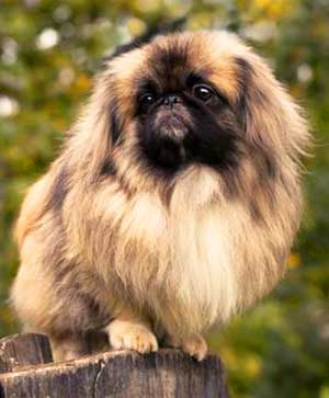 The Peking Dog is a heavy shedding dog that will require a regular session of grooming on a daily basis.