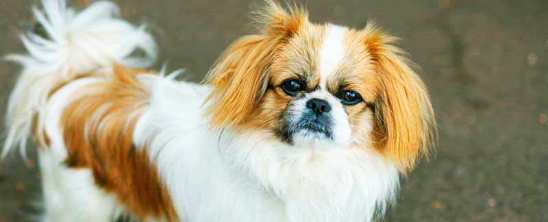 Pekingese featured image