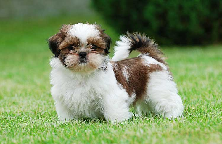 If you don't intend to show your Chrysanthemum Dog in conformation, it would be wise to leave make him a shorter, puppy cut of hair.