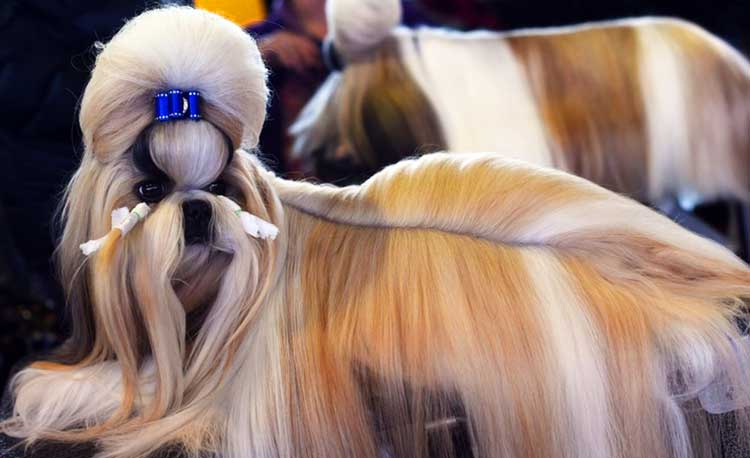 The Xi Shi Dog has the long, silky coat, which is quite luxurious and sleek, giving this dog the impression of a living plush toy.