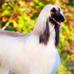 Afghan Hound Dog Breed Info And Characteristics