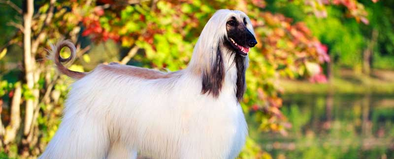 Afghan Hound featured image