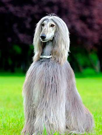 The Sag-e Tazi has very long hair on the head, beginning from forehead backwards.