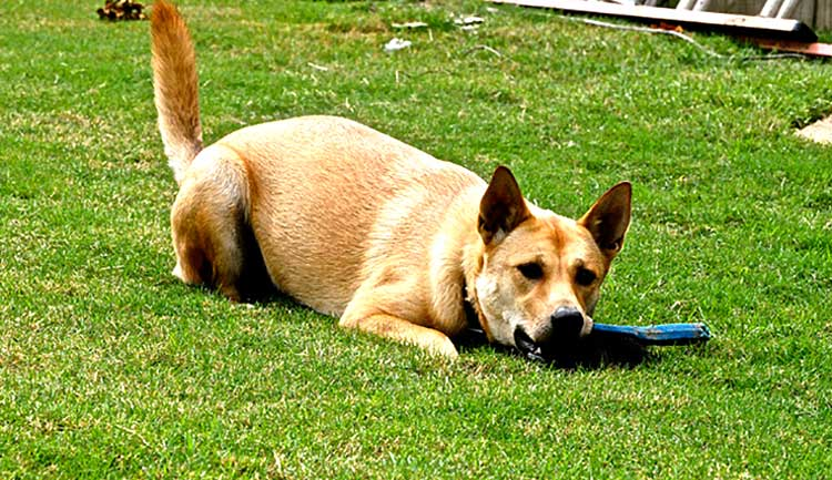 The American Dingo is a very cheerful, playful and lively dog by nature, who will often wholeheartedly join your kids in their games and activities.