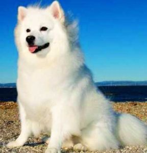 The American Eskimo has such an abundant coat that is so soft and fluffy.