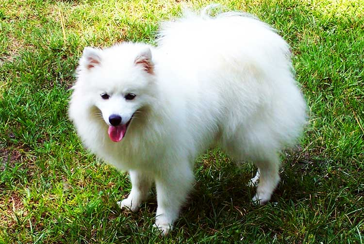 Miniature American Eskimo Dog is medium-sized, smaller than Standard AED, but slightly bigger than Toy AED.