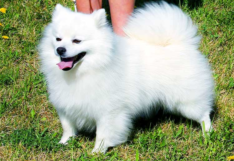 Toy American Eskimo Dog is the smallest of three varieties.