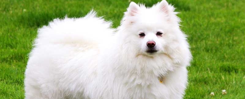 American Eskimo Dog featured image