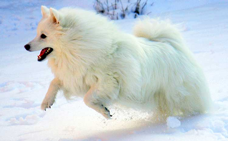 The Eskies are more suiter to a colder climate, and they like to play in cold, snowy weather.