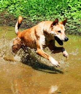 Dixie Dingoes enjoy swimming a lot!