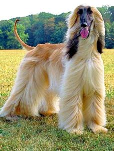 The Afghan Hound is one of the fastest dogs on the planet, capable to outrun even horses.