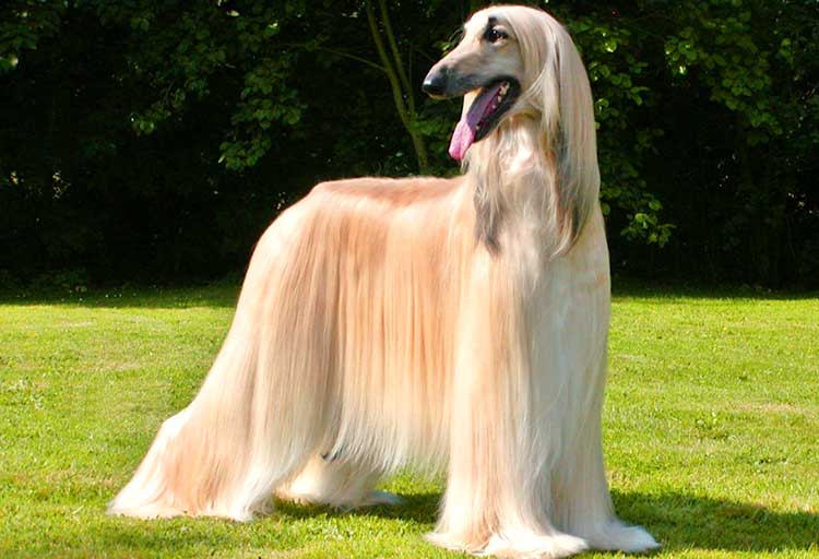 The long, lavish coat is the trademark of the Afghan Hounds, but is also a true hassle when it comes to maintenance.