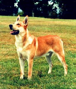 The American Pariah is a very hardy and agile dog that is quite reminiscent of the Australian Dingo.