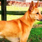 Carolina Dog Breed Info And Characteristics