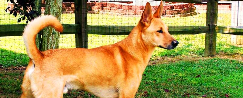 Carolina Dog featured image