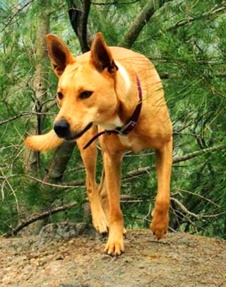 Wild Carolina Dogs are excellent hunters that usual hunt in small packs.