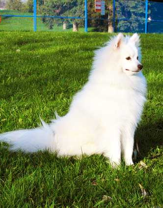 The Eskimo Spitz makes an excellent watchdog.