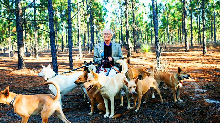 In the 1970s, Dr. I. Lehr Brisbin, a biology professor at the University of Georgia's Savannah River Ecology Lab, discovered Carolina Dogs in the most isolated, remote parts in South Carolina and Georgia.