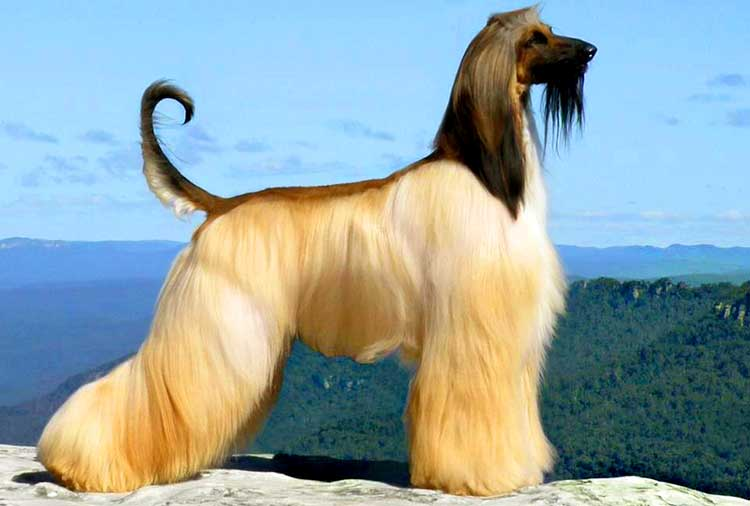 Afghan Hound Dog Breed Info Characteristics Traits
