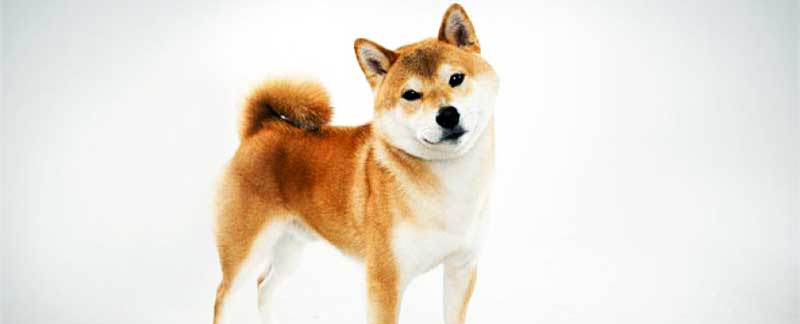 The Shiba Inu facts featured image