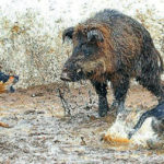 Hog Hunting With Dogs