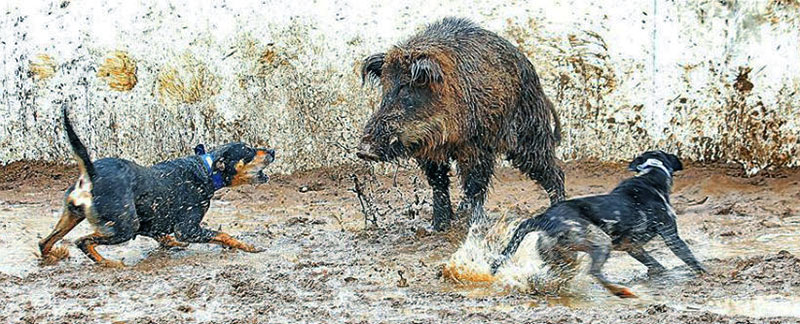 Hog Hunting With Dogs featured image
